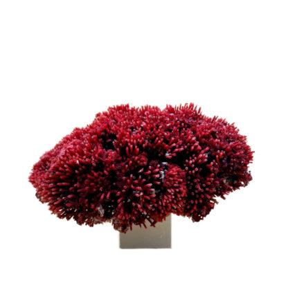 Corail Rouge Tuberosa